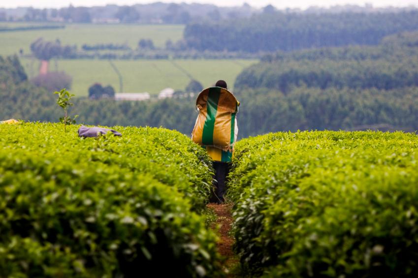 Tea_harvest_Kericho_iStock_000007147368Small